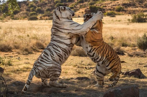 Bengal-tigers-fight