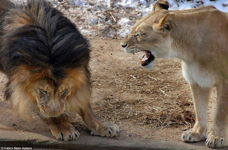 Lioness Scaring Lion