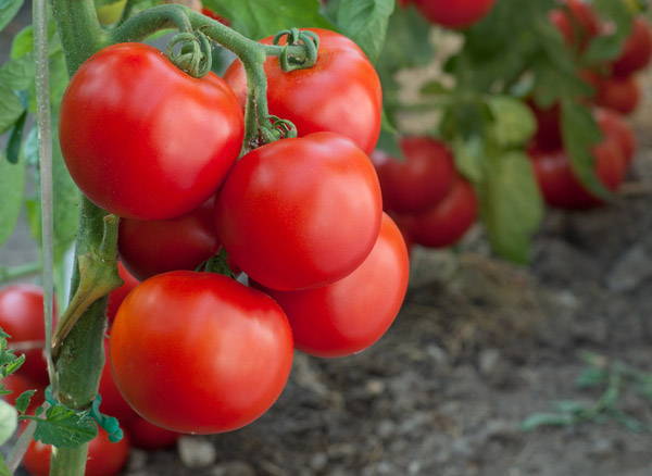organic-tomatoes-more-healthy