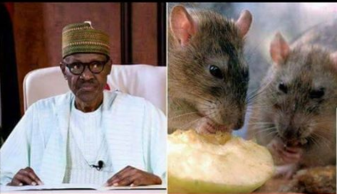 Rats-chase-President-Buhari-from-his-Aso-Rock-office